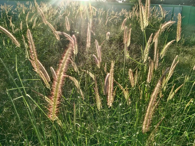 Agriculture Beauty In Nature Cereal Plant Close-up Day Field Grass Growth Nature No People Outdoors Plant Tranquility Wheat