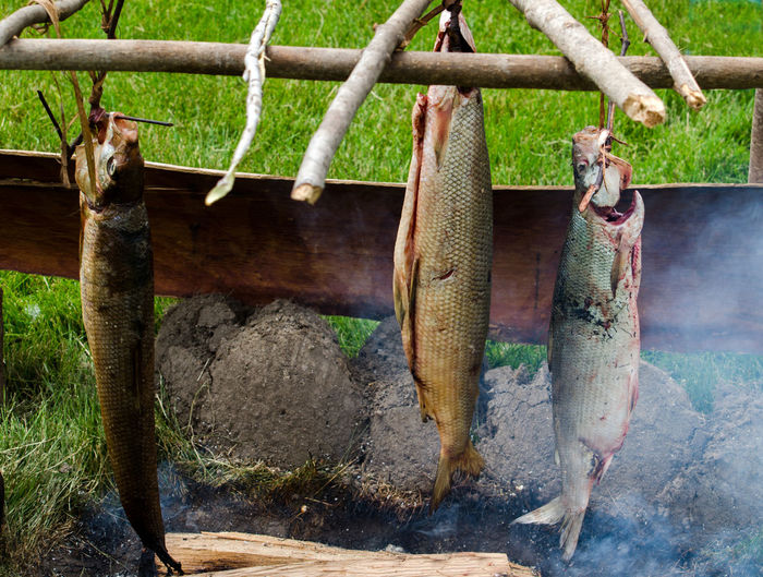 fresh caught fish are being smoked the old fashioned way; over an outdoor campfire Camping Old Fashioned Retro Smoke Close-up Day Fish Fresh Caught Fish Hanging Healthy Food Nature Outdoor Cooking Outdoors Scales Smoking Fish Whole Fish Wildlife