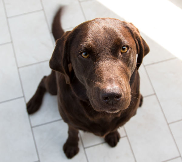 Portrait of chocolate labrador sitting on floor