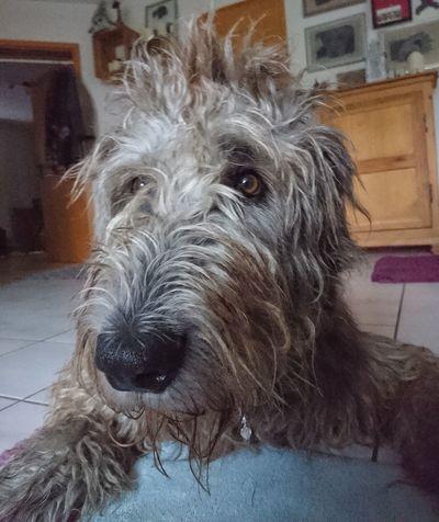 Sleepy head ♥️ Irish Wolfhound Willi The Wolfhound Gentle Giant My Love ❤ Bed Head Dog Pets One Animal Mammal Portrait Close-up Indoors