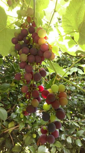 Fruit Food And Drink Food Hanging No People Agriculture Grape Nature Green Color Freshness Outdoors