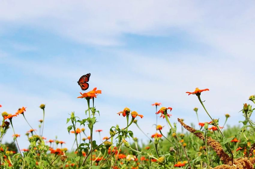 Monarchs at the Chicago Botanic Gardens. Monarch Butterfly Butterfly Naure Naturelovers Naturephotography Bluesky Orange Flowers Flowers And Plants Flowers And Sky Nature Beauty Flight Summertime