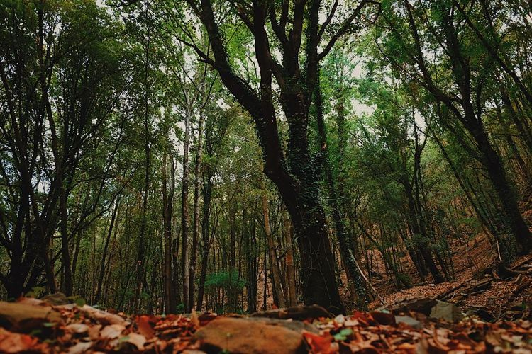 Forest floor and trees, Umbria. Autumn Beauty In Nature Branch Day Forest Growth Nature No People Outdoors Scenics Tranquil Scene Tranquility Tree Tree Trunk WoodLand