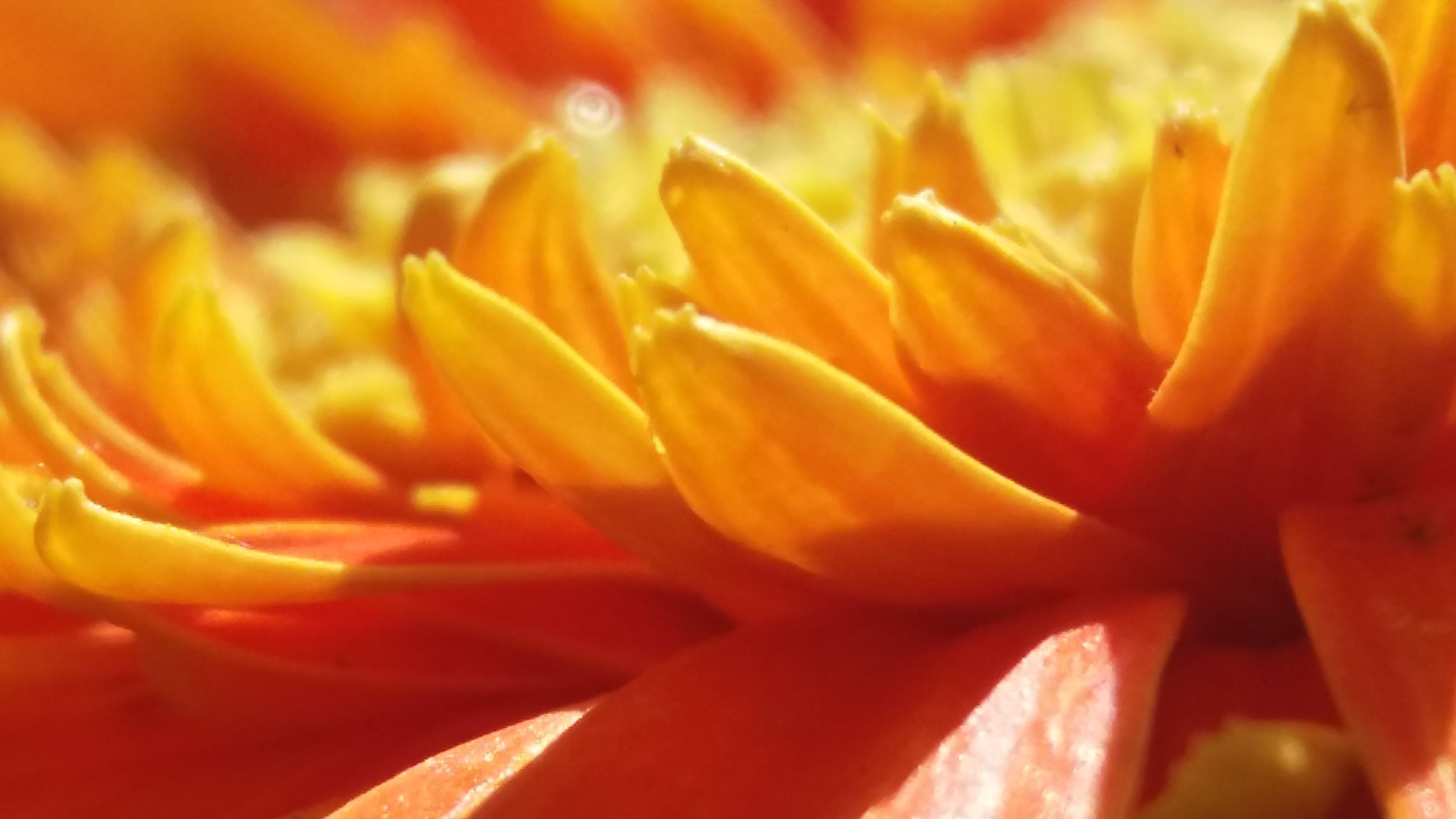 flower, petal, nature, flower head, beauty in nature, growth, fragility, plant, backgrounds, full frame, freshness, selective focus, no people, yellow, blooming, close-up, soft focus, day lily, outdoors, day