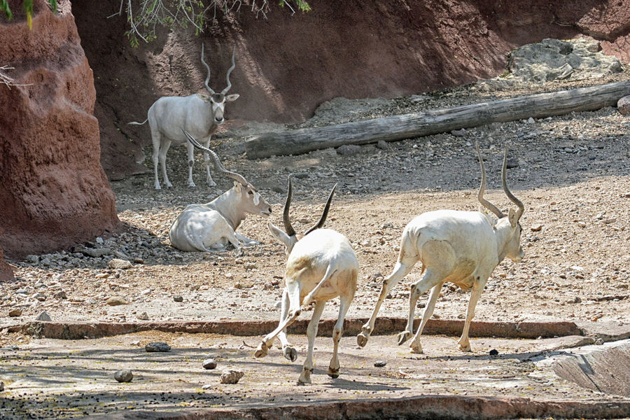 Addax endanger spices, native Sahara. Animal Themes Animal Wildlife Animals In The Wild Arid Climate Beauty In Nature Day Mammal Nature No People Outdoors Rural Scene Sunlight Motion Shot White Color