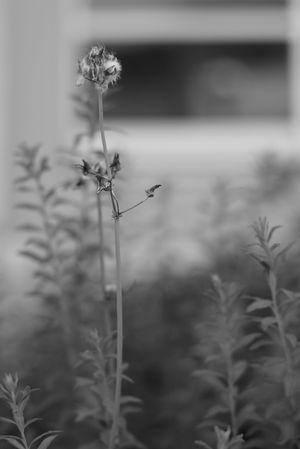 Black And White Flower Head Flower Rural Scene Cereal Plant Uncultivated Close-up Plant