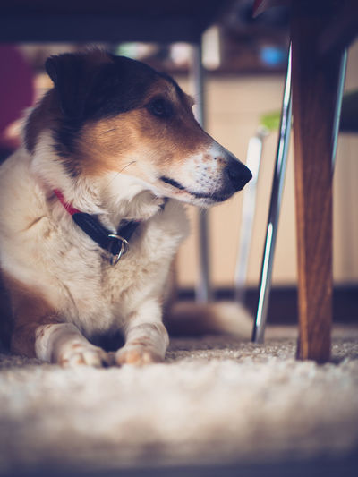 Dog Pets Canine Domestic Domestic Animals One Animal Animal Themes Animal Mammal Selective Focus Looking Away Vertebrate Looking No People Sitting Relaxation Close-up Animal Body Part Day Leash Animal Head