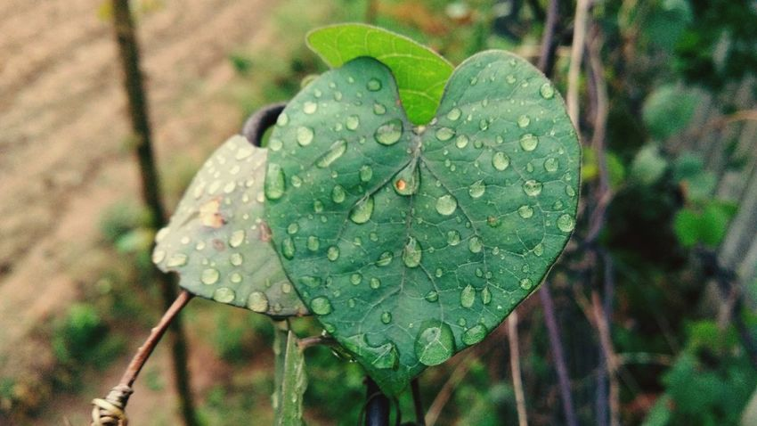 A green heart. 💚 Leaf Green Color Drop Nature Plant Close-up Day No People Outdoors Growth Water Beauty In Nature Freshness Fragility EyeEm Best Shots Scenics Landscape_photography Landscape EyeEm Selects Environment Rainy Day The Great Outdoors - 2017 EyeEm Awards Rainfall EyeEm Masterclass Raintoday