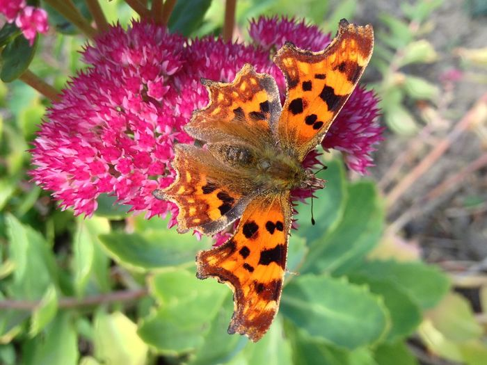Comma butterfly Animal Markings Beauty In Nature Butterfly Butterfly - Insect Comma Flower Insect Natural Pattern Nature Orange Color Outdoors Petal Plant Pollination Symmetry Wildlife