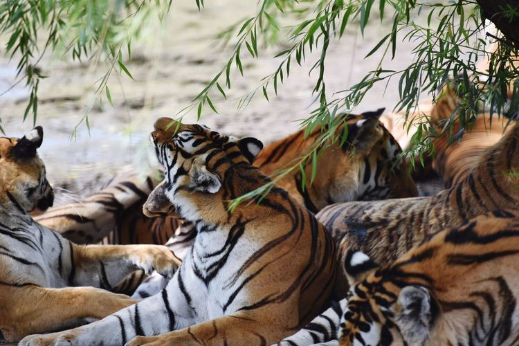 Tigers relaxing on field under tree