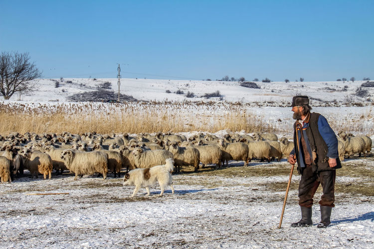 Shepherd Of The Sheep Adult Agriculture Beauty In Nature Clear Sky Cold Temperature Day Domestic Animals Field Full Length Large Group Of Animals Livestock Mammal Men Nature One Man Only One Person Only Men Outdoors People Real People Sky Standing Winter
