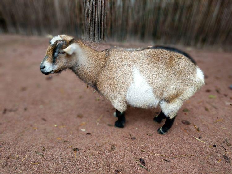 dwarf goat Goat Pet Petting Zoo Petting Animals One Animal Animal Themes Animals In The Wild Animal Wildlife Mammal Day No People