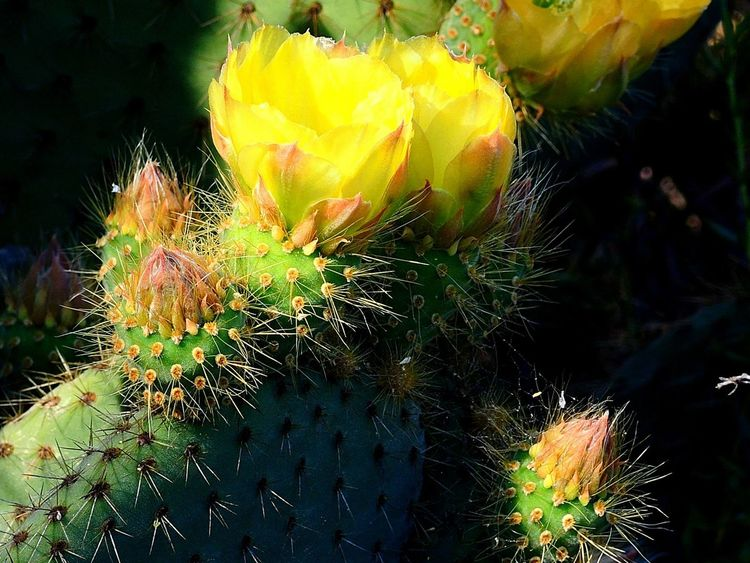 Cactus Cactus Garden Cactus Flower Desert Desert Life Yellow Flower Beauty In Nature Cactus Cactus Collection Day Desert Beauty Green Cacti Green Cactus Growth Nature No People Outdoors Prickly Pear Cactus Thorn Thorns And Beauty Yellow Yellow Cactus Yellow Cactus Blossom Yellow Cactus Flower