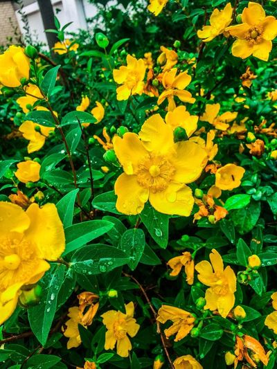 Garden Yellow Green Color Nature Photography Nature Flower Plant Flowering Plant Yellow Vulnerability  Growth Fragility Beauty In Nature Freshness Flower Head Petal Nature Close-up Inflorescence Plant Part