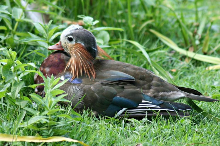 Animal Themes Beauty In Nature Bird Grass Green Color Growth Mandarin Duckling No People Ugly Ducklings Young Bird