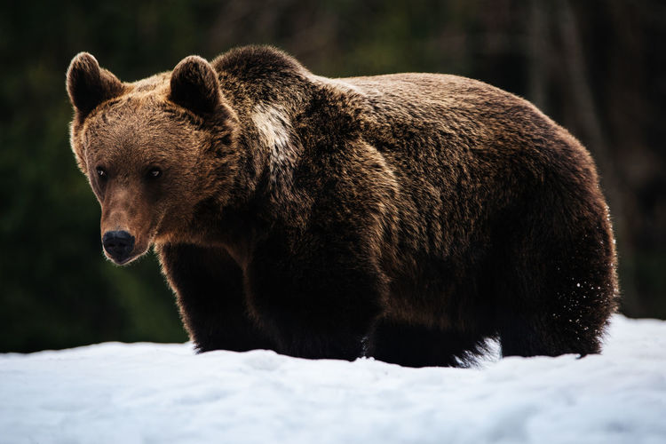 Wildlife Wildlife & Nature Wild Beauty In Nature Bear Brown Bear Ursus Nature Nature_collection Romania Transylvania Snow Looking At Camera Portrait Wildlife Photography Mammal Animal Themes Animals In The Wild Animal Wildlife Animal Tree Tress Springtime Winter Nature Photography
