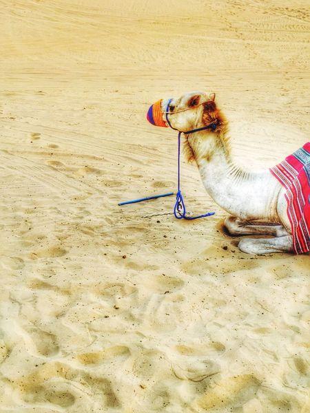 Camel ride in Dubai desert! Dubai Camel Desert Safari Traveling Summer IPhoneography Wonders Of The World Travelgram Travelblogger Travelwriter Travel Destinations Travelphotography July Showcase: July Eyeemphoto