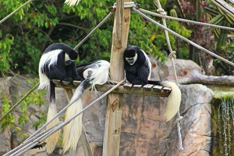 Black and white colobus in zoo