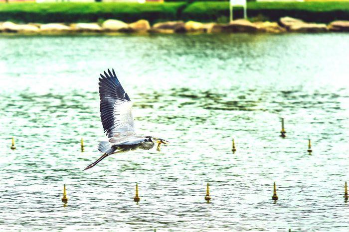 grey heron Heron Animals Birds