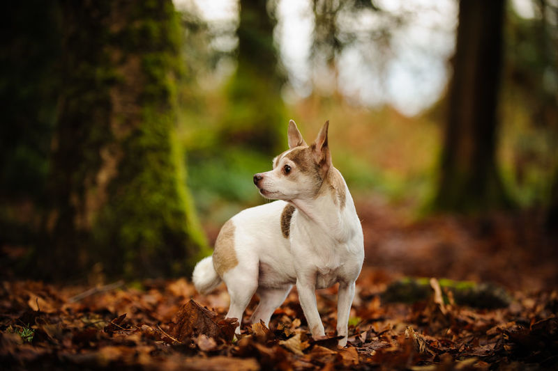 Chihuahua dog standing on dry leaves