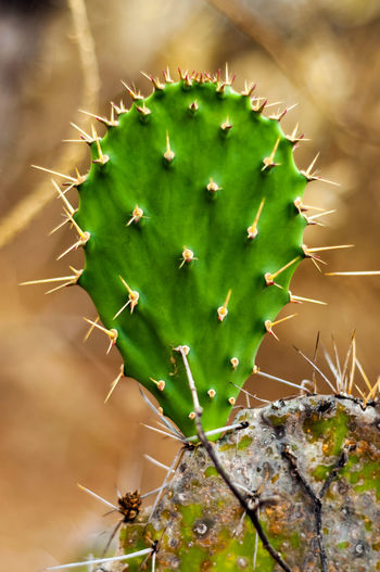 Close-up of prickly pear cactus outdoors