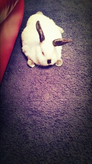Daenerys Lazy Bunny Cute Pets