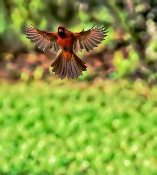 Phoenix Rising Cardinal Animal Themes Animals In The Wild Beauty In Nature Bird Close-up Day Flying Mid-air Motion Nature No People One Animal Outdoors Spread Wings