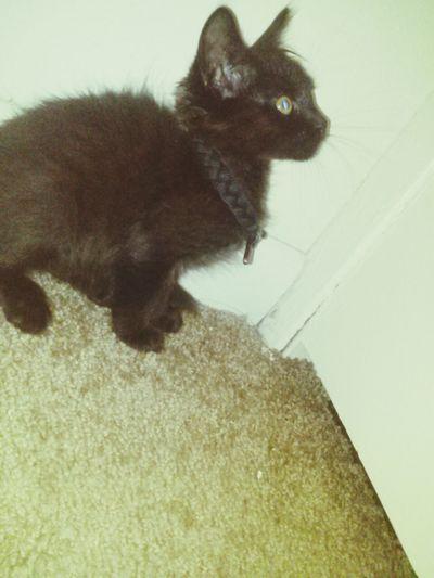 Shes Wearing My Rastaclat Paracord Bracelet As A Collar. My Pretty Little Kitten  Rastaclat