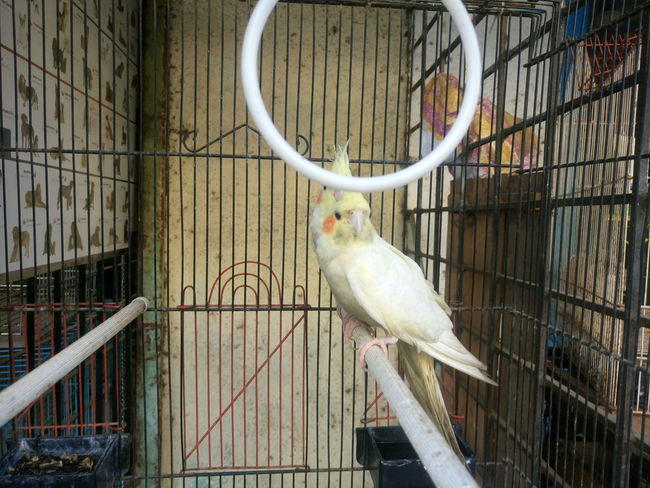 Animal Themes Animals In Captivity Bird Birdcage Budgerigar Budgerigar Cage Day Domestic Animals Metal No People Outdoors Parakeet Parrot Perching Pets Trapped