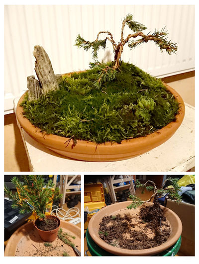 low budget bonsai project Bonsai Spruce Tree Christmas Potted Plant Plant Growth Nature Green Color No People Cactus Indoors  Succulent Plant Plant Part Transfer Print Leaf Table Day Auto Post Production Filter Food Flower Pot Bonsai Tree Houseplant Close-up Herb Gardening Planting