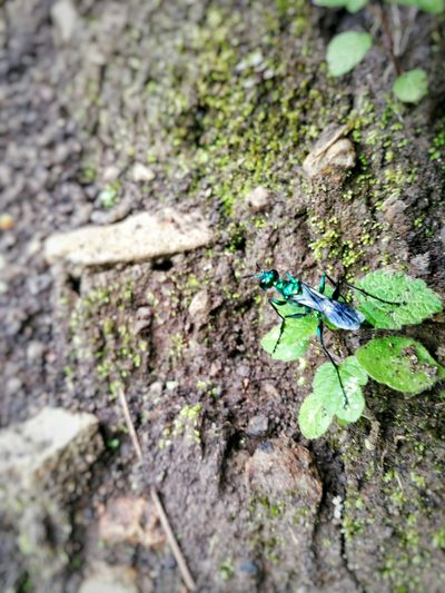 Emerald Wasp, Avispa Esmeralda(Ampulex Compressa) Green Color Tree Trunk No People Day Nature Insect Outdoors Close-up One Animal Animal Themes Tree