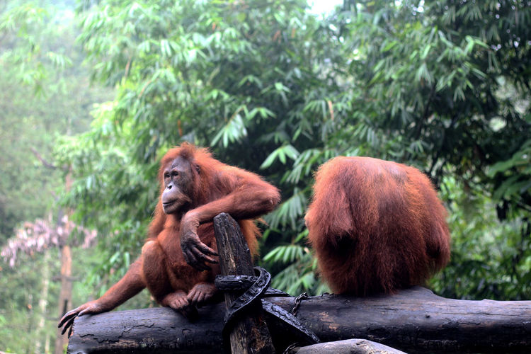 Orangutans in a playground that matches the nature of the forest
