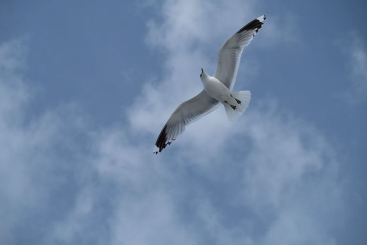 EyeEm Selects Flying Low Angle View Spread Wings Animal Themes Bird Animals In The Wild Cloud - Sky Sky One Animal Day Mid-air Nature Animal Wildlife No People Outdoors Seagull Beauty In Nature
