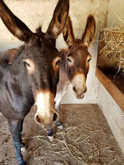 Portrait of donkeys at stable