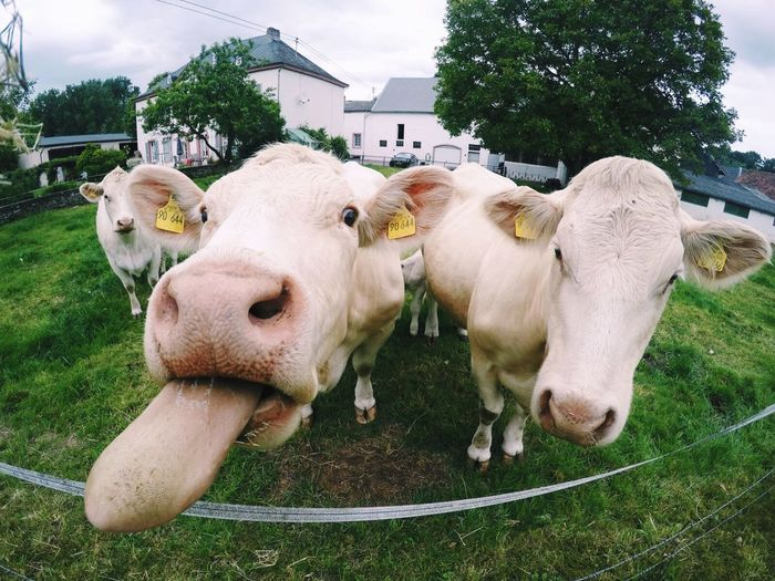 High angle view of cows standing on grassy field