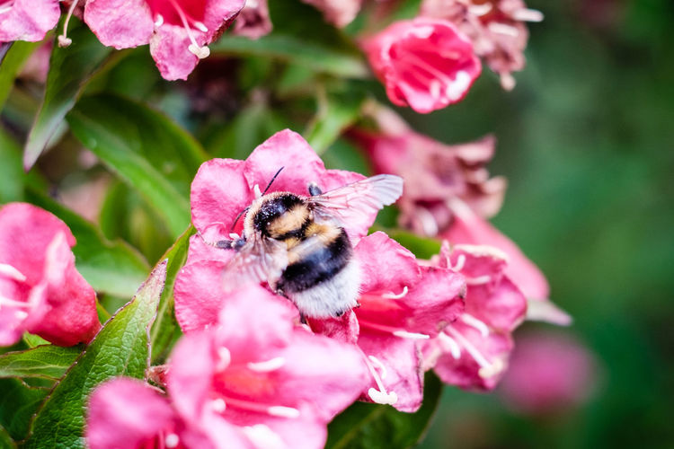 Bumble Bee Bumblebee Green Nature Plant Plants Bee Bumblebee On Flower Close-up Colorful Depth Of Field Flora Flower Flower Collection Flower Head Flowers Focus On Foreground Fragility Garden Insect Leaf Leaves One Animal Pink Color Pollination