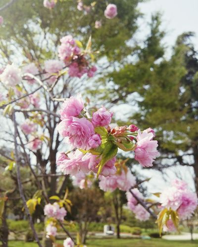 Cherry Blossom Taking Photos Hello World Relaxing Enjoying Life Taking Photos Mobilephotography Flowers Spring Has Arrived Nature Photography Travel Photography Japan Photography Sakura2016 Springtime Inbloom Flowers, Nature And Beauty Ultimate Japan