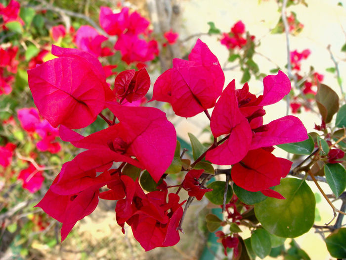 Closeup of beautiful bougainvillaea flower in blossom, nature background Pink Color Beauty In Nature Flower Growth Nature Close-up Flower Head Freshness Plant Flowering Plant Petal Red Outdoors Bougainvillea Blossom Blooming Nature Pink Pink Flower Tropical Branch Summer