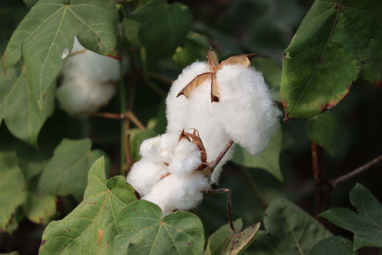 Close-up of ripe cotton bolls on cotton branch