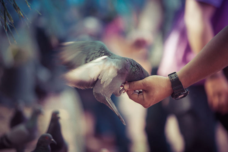 Cropped image of hand feeding pigeon