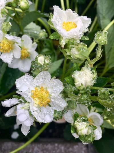 Close-up of wet white flowers