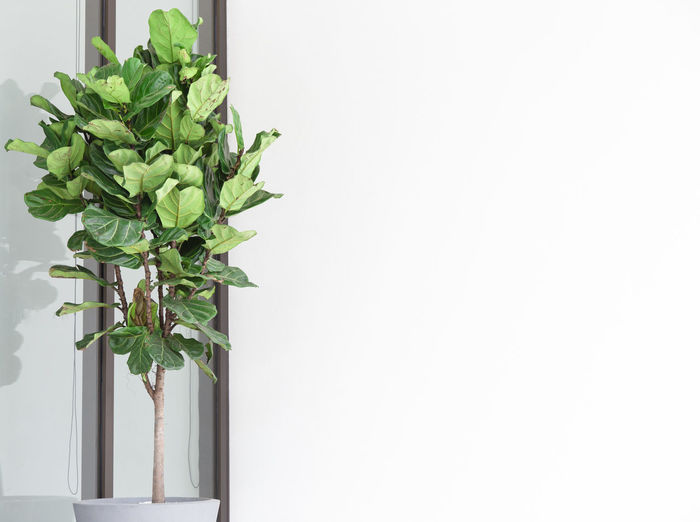 Fiddle Leaf Fig Tree planted on white ceramic. Fiddle Leaf Fig Tree. Plant Leaf Plant Part Green Color Copy Space Growth Indoors  No People Nature White Background Close-up Studio Shot Potted Plant White Color Wall - Building Feature Freshness Beauty In Nature Houseplant Herb Tropical Green Planthouse Style Lifestyle