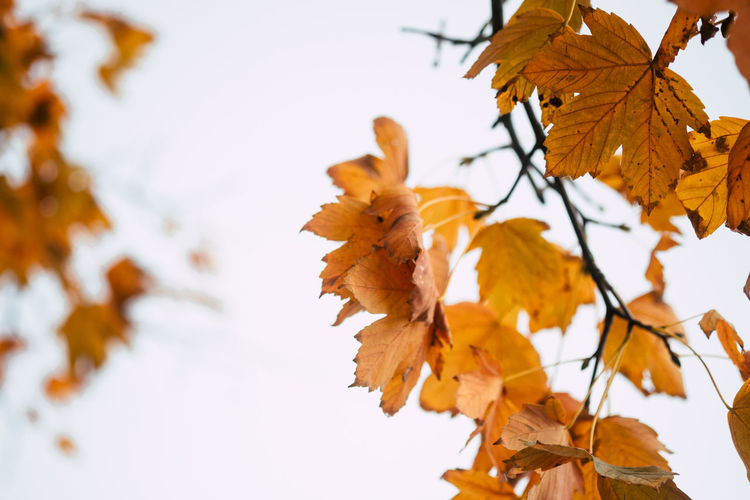 Nature Leaf Sky Leaves Tree Autumn Fall Day Outdoors Yellow Change Plant Growth Maple Leaf Fragility Branch Close-up Beauty In Nature No People Vulnerability  Orange Color Natural Condition Focus On Foreground Plant Part Vulnerability
