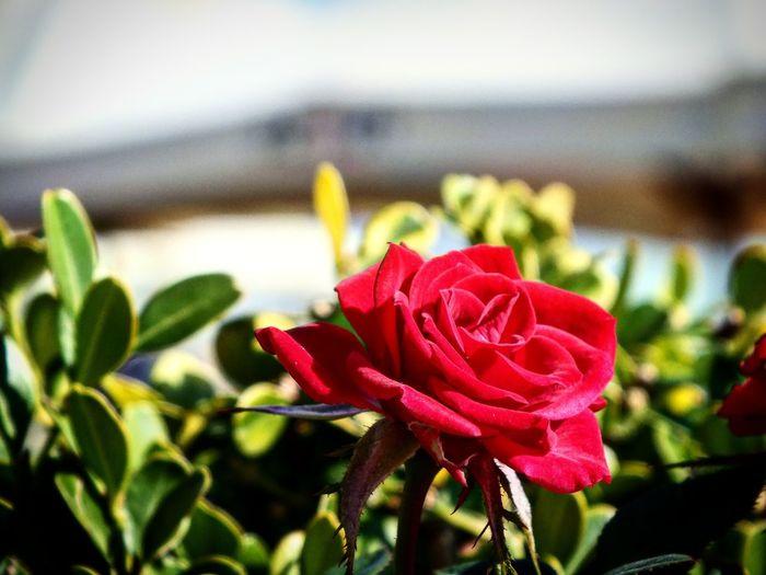 Flower Nature Red Beauty In Nature Flower Head City Turkinsta Turkey💕 Mersin Universitesi Mersin Turkey Mersinforum Türkiye Mersinliyizbiz Nbkphotographyy Nature Cats 🐱 Turk_kadraj Türkbayrağı Türkkahvesi