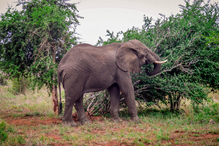 African Elephant eating African Animals Animal Themes African Elephant Tusks Kruger Park Krüger National Park  South Africa Wildlife Wildlife & Nature Wildlife Photography