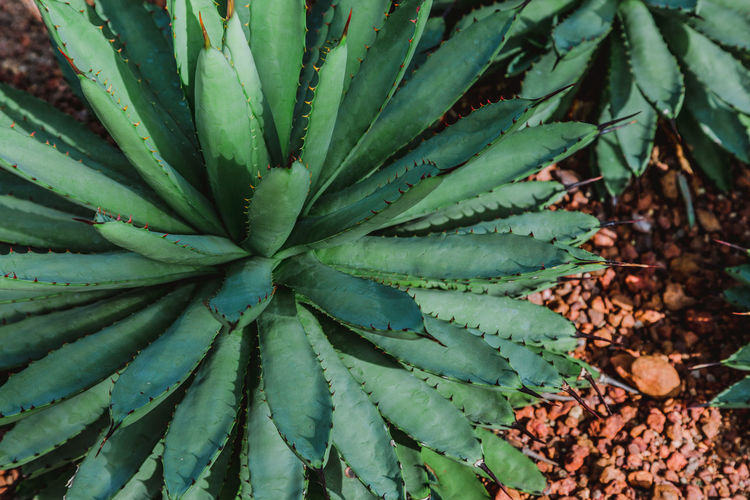 Growth Leaf Plant Plant Part Nature Green Color No People Succulent Plant Beauty In Nature Close-up Day Cactus Land High Angle View Outdoors Field Backgrounds Full Frame Natural Pattern Freshness Desert Desert Plants