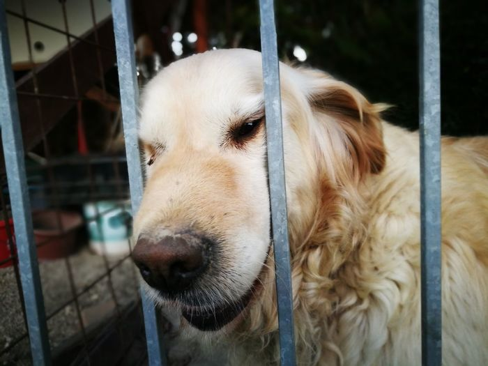 EyeEm Selects Dog Pets Animal Head  Mammal Animal Body Part Domestic Animals One Animal Golden Retriever Close-up Animal Themes No People Outdoors Portrait Day No People, Kennel Kennel Dog