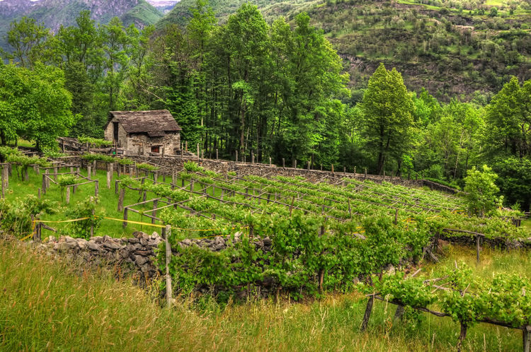 Old Vineyard with a rustic house in Ticino, Switzerland. Agriculture Beauty In Nature Beauty In Nature Built Structure Day Green Color House Landscape Mountain Nature No People Outdoors Plant Rustic Swiss Culture Tranquil Scene Tranquility Travel Destinations Tree Vineyard Wine Wine Culture