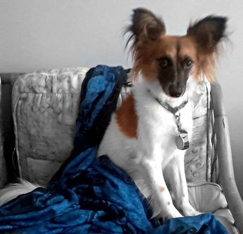 Dogslife Handsome Dog Colorsplash Photogenicpuppy Chihuahua American Eskimo Mixbreed Mamasboy Spoiled Big Ears Fluffy Dog Check This Out Relaxing Enjoying Life