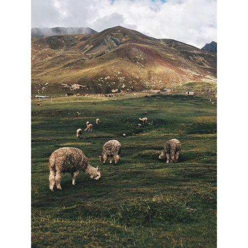 Llamas on field against sky